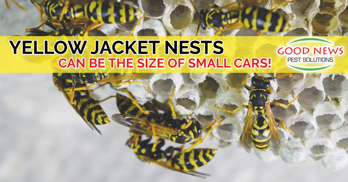 Yellow Jackets Can Build Super Nests the size of cars!